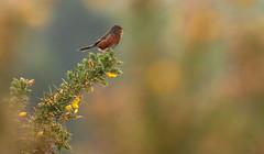 Dartford Warbler (steve whiteley) Tags: bird birdphotography wildlife wildlifephotography nature dartfordwarbler sylviaundata rspbarne warbler