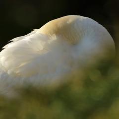 (Northern) Gannet (steve whiteley) Tags: bird birdphotography wildlife wildlifephotography nature gannet bempton morusbassanus seabird northerngannet