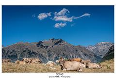 Cows (Ignacio Ferre) Tags: cow vaca cerler benasque huesca pirineos aragón españa spain paisaje landscape nube cloud montaña mountain nikon naturaleza nature heifer pyrenees