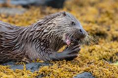 Tasty Treat, Mull (irelaia) Tags: mull otter fish close encounter wild animal