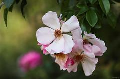 pink roses (Christine_S.) Tags: pinkflowers garden nature closeup macro bokeh flower blossom canon eos japan m5 mirrorless ef100mmf28l floralphotography climbingrose explored explore singlepetalroses