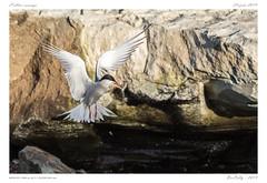 Le sterne pierregarin | common tern (BerColly) Tags: france auvergne puydedôme oiseaux birds sternepierregarin vommontern riviere river allier vol flight pêche fishing poisson fish bercolly google flickr