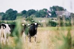 Cows (unbunt.me) Tags: filmmeinfilmlabanalogwwwmeinfilmlabde film meinfilmlab analog wwwmeinfilmlabde fujifilm eos3 canon landscape landschaft