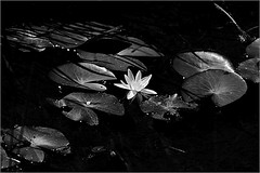 Where black waters roar and water lilies grow (marialourenzo) Tags: nenúfar waterlily pond estanque aquaticplant flower flor blackandwhite blancoynegro byn bw lilypad nymphaea nenuphar vitóriarégia wasserlilie ninfea