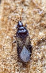 Xylocoris cursitans (kahhihou) Tags: taxonomy:kingdom=animalia animalia taxonomy:phylum=arthropoda arthropoda taxonomy:subphylum=hexapoda hexapoda taxonomy:class=insecta insecta taxonomy:subclass=pterygota pterygota taxonomy:order=hemiptera hemiptera taxonomy:suborder=heteroptera heteroptera taxonomy:infraorder=cimicomorpha cimicomorpha taxonomy:superfamily=cimicoidea cimicoidea taxonomy:family=anthocoridae anthocoridae taxonomy:subfamily=anthocorinae anthocorinae taxonomy:tribe=xylocorini xylocorini taxonomy:genus=xylocoris xylocoris taxonomy:species=cursitans taxonomy:binomial=xylocoriscursitans keloheiverölude xylocoriscursitans taxonomy:common=keloheiverölude