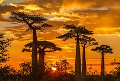 Ciel de feu sur les baobabs de Morondava (Fabrice L.) Tags: baobabs mada2017 morondave madagascar morondava arbres trees light sunset soleil feu