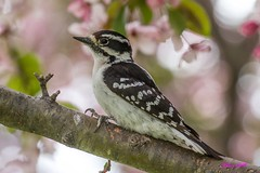 IMG_9536 downy woodpecker (starc283) Tags: bird birding birds starc283