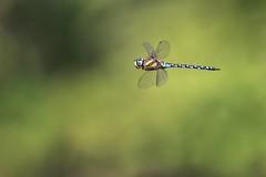 Libellule (Dakysto94) Tags: odonate odonata libellule libellula dragonfly insecte insect animal nature macro proxi