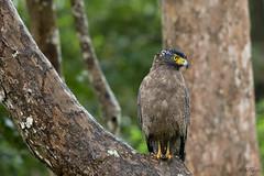 Keen for the kill. . . (Rakesh Kumar Dogra) Tags: crested serpent eagle spilornischeela raptors rakeshkumardogra naturephotography nature nagarhole kabini birdsofindia birdphotography canon7dmarkii tamron150600g2