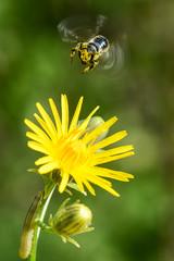 Взлёт (Yuriy Kuzmenok) Tags: пчела цветок макро природа