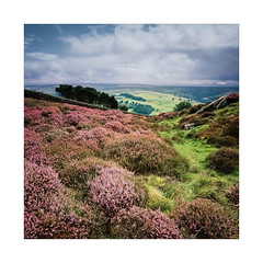 Heather Valley (gerainte1) Tags: heather flower colour moor film portra160 hasselblad501