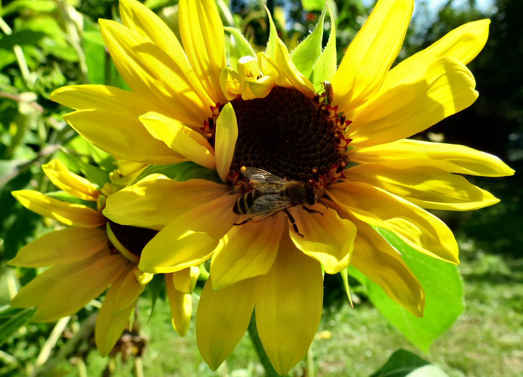 The World S Newest Photos Of Blume And Sonnenblume Flickr
