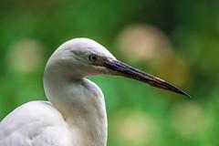 Little Egret (Egretta garzetta) (JordanNaturePht) Tags: nikkor200500mm d7200 nikon egret nature wildlife birding bird littleegret egrettagarzetta