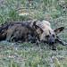 Afrikanischer Wildhund / African Wild Dog