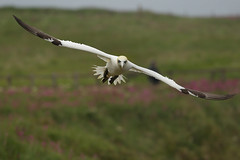 (Northern) Gannet (steve whiteley) Tags: bird birdphotography wildlife wildlifephotography nature gannet bempton morusbassanus birdinflight seabird northerngannet
