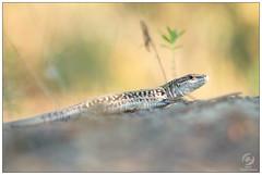 Lézard - Lizard (Podarcis sp.) (Man - Photo Nature) Tags: lézard lizard podarcis reptile reptilia photonature