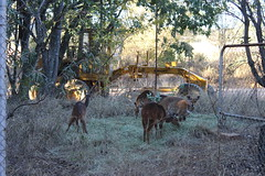 Friendly Buchbucks (Rckr88) Tags: waterberggamepark limpopo southafrica waterberg game park south africa friendly buchbucks friendlybuchbucks friendlybuchbuck buchbuck animals animal nature naturalworld outdoors travel travelling