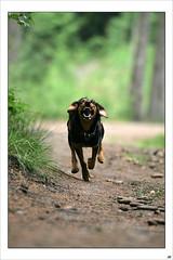 Back then... young and wild Lemmy! 😍 (lichtspuren) Tags: lemmy lemmel bracke hellenichound hellinikosichnilatis blackandtan braque dog hund friend lichtspuren littledoglaughedstories
