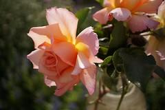 roses in a vase - explored (quietpurplehaze07) Tags: smileonsaturday pastel rose vase compassion prettyinpastel
