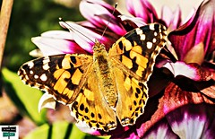 Belle dame (https://pays-basque.coline-buch.fr/) Tags: 64 papillon labelledame vanessedeschardons vanessacardui lépidoptères nymphalidae papillonmigrateur colinebuch nature insecte