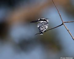 Pied Kingfisher (leendert3) Tags: leonmolenaar southafrica krugernationalpark naturereserve nature naturalhabitat wildlife wilderness wildanimal bird piedkingfisher coth5