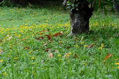 L1350681 Wildflowers carpet (Rise Liao) Tags: 樹木 落葉 野花 草地
