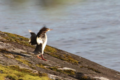 Stretch... (lattee) Tags: ef90300 mergusmerganser goosander bird nature finland summer
