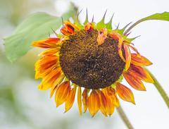 September (~DGH~) Tags: 2019 alberta canada edmonton pentaxk50 september macro smcpentaxdfamacro100mmf28wr sunflowers ~dgh~ summer