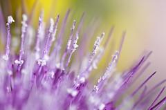 Macro (Stefano Rugolo) Tags: stefanorugolo pentax k5 pentaxk5 kmount tamronspaf90mmf28dimacro11 macro flower detail colors focus