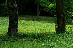 L1350682 Wildflowers carpet (Rise Liao) Tags: 樹木 野花 草地