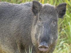 P9051747 (turbok) Tags: aktivitäten isozomündunggrado säugetiere wildtiere wildschwein