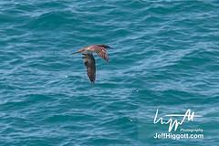 Brown Booby (Jeff Higgott (Sequella.co.uk)) Tags: jeffhiggott jeffhiggottphotography rarity rare bird solid gannet sulaleucogaster