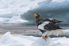 Finally well-deserved fish after the dirty fight... (Devendra Deshmukh) Tags: people eagle stellers sea animals in the wild bird prey cold temperature ice winter nature outdoors full length animal wildlife snow