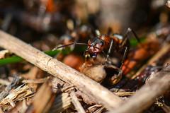 И кто здесь букашка?! (Yuriy Kuzmenok) Tags: природа макро насекомые животные муравей