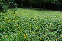 L1350680 Wildflowers carpet (Rise Liao) Tags: 樹木 野花 草地