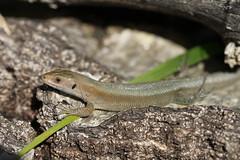Zootoca vivipara. (ChristianMoss) Tags: lacerta vivipara lizard zootoca common reptile eppingforest viviparous