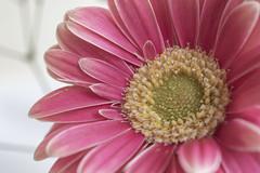 Pastel Bouquet 3 (Andy Jah) Tags: petal flower red selectivefocus nikkor micro 40mm
