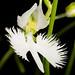 [Toyama, Japan] Pecteilis radiata '蘭月 - Rangetsu' (Thunb.) Raf., Fl. Tellur. 2: 38 (1837)