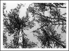 Des arbres (cdut70) Tags: hautesaône franchecomté arbres nature blackwhite photographieargentique nikon pelliculenoiretblanc noiretblanc nikon50mm 50mmf18 ilfordid11 ilfordpan100 tree outside trees nikkor bw blackandwhite art ilford bottomview contreplongée shadows light film filmphotography 50mm