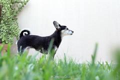 Mirtilla (CarloAlessioCozzolino) Tags: mirtilla cane dog animale animal
