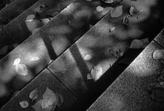 良い間取り (well-planned) (Dinasty_Oomae) Tags: オリンパス olympus オリンパスエース olympusace オリンパスエースe olympusacee 東京都 東京 tokyo 白黒写真 白黒 monochrome blackandwhite blackwhite bw outdoor minatoku 港区 神社 shrine 櫻田神社 階段 steps 葉 leaf 影 shadow
