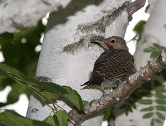 IMG_5494 Pic flamboyant, Roberval (joro5072) Tags: animal nature oiseau bird pic flicker