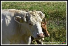 Roman Bank Beast (10) (nowboy8) Tags: nikon nikond7200 anderbycreek cloudbar moggseye marshyard northsea cows beast wildsea
