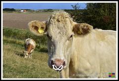 Roman Bank Beast (5) (nowboy8) Tags: nikon nikond7200 anderbycreek cloudbar moggseye marshyard northsea cows beast wildsea
