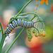 Monarch caterpillar in silky gold/scarlet milkweed - yesterday