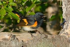 American Redstart - Male (Jim McCree) Tags: americanredstart setophagaruticilla searsportmaine searsisland august 2019 male