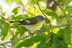 American Redstart - Female (Jim McCree) Tags: americanredstart setophagaruticilla searsportmaine searsisland august 2019 female
