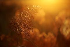 IMG_8415 (geraldtourniaire) Tags: schärfentiefe sonnenaufgang bokeh beauty natur nature eos6d ef 70200l non canon franken mittelfranken gegenlicht gräser goldene