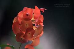 Somedays .. (Anuradha Nautiyal) Tags: bud bloom blossom orange flowers orangeflowers cloudyday inclementweather cloudy flora nikond90 nikon d90 cupandsaucer bangalore bengaluru karnataka india