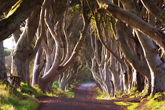 Dark Hedges (jim2302) Tags: ireland sony a7ii long lens early morning sunrise quite road wind trees old hill iconic kings game thrones got landscape national